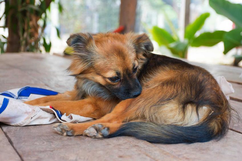 Mały drapiący się pies oraz domowe sposoby na pchły u psa, a także ich zwalczanie i porady, czego nie lubią pchły