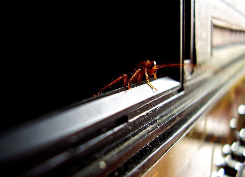 Karaluch na meblach oraz informacje, skąd się biorą karaluchy i skąd się biorą prusaki, a także zwalczanie karaluchów