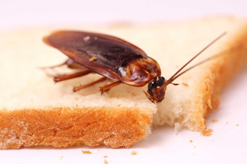 Karaluch na chlebie oraz skąd się biorą karaluchy i prusaki, a także sposoby na zwalczanie karaluchów