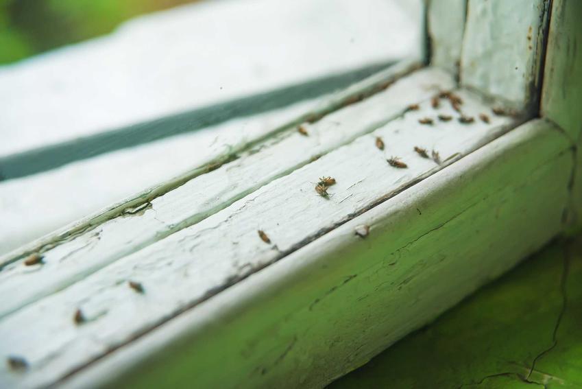 Czarne małe robaczki w domu na oknie, w tym psotnik zakamarnik czy mrówki faraona oraz ich zwalczanie i zapobieganie