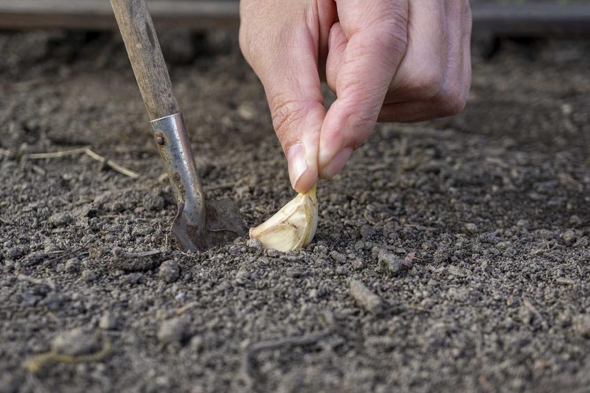 Sadzenie czosnku oraz porady - jak sadzić czosnek, na jakiej głębokości i kiedy jest najlepszy moment na sadzenie czosnku