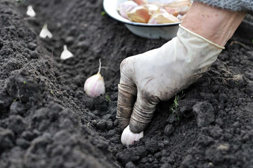 Sadzenie czosnku oraz porady, kiedy sadzić czosnek w ogrodzie i jak głęboko sadzić czosnek krok po kroku