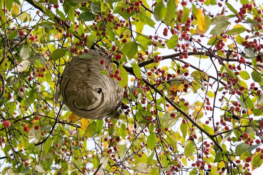 Gniazdo os lub gniazdo szerszeni na drzewie owocowym oraz porady, jak zlikwidować gniazdo os lub szerszeni