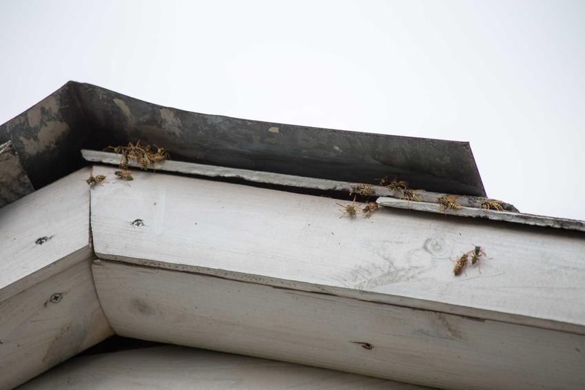 Gniazdo os lub gniazdo szerszeni pod dachem oraz porady, jak zlikwidować gniazdo os lub szerszeni w bezpieczny sposób