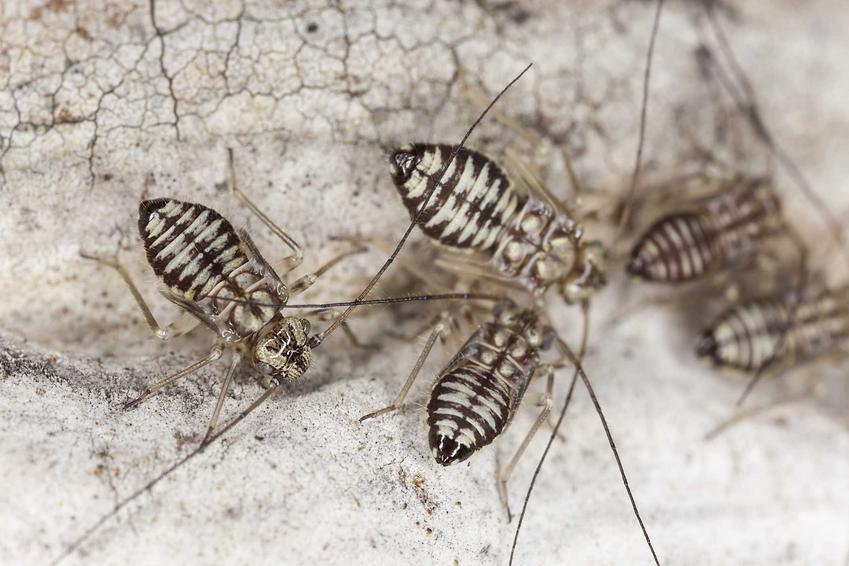 Psotnik zakamarnik, czyli gryzek i gryzki w domu, a także ich zwalczanie i preparat na gryzki oraz rozpoznanie insekta
