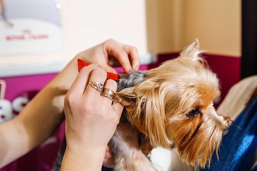 Pchły u psa oraz porady czego nie lubią pchły i domowe sposoby na pchły, w tym domowy środek na pchły