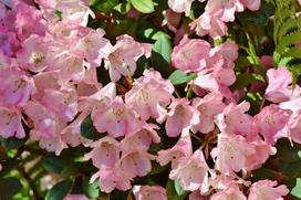 Poznaj 9 najpiękniejszych odmian rododendronów