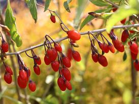 Jagody w ogrodzie - poznaj ich cenne właściwości zdrowotne!