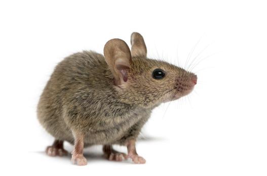 myszy w domu